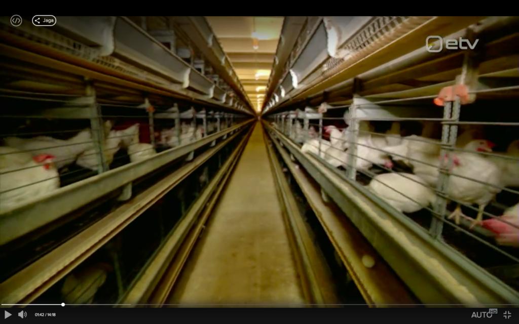 """Puurikanad Eestis. Kuvatõmmis videost """"Ringvaade"""" käis vaatamas, kuidas elavad Eggo munafarmi kanad"""" (https://menu.err.ee/617999/ringvaade-kais-vaatamas-kuidas-elavad-eggo-munafarmi-kanad)"""
