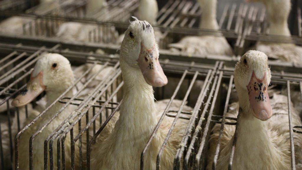 Haned foie gras tööstuses