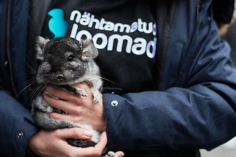 2020. aastal Nähtamatute Loomade poolt Eesti karusloomafarmist päästetud tšintšilja minemas uude hoolivasse koju. Foto: Nähtmatud Loomad